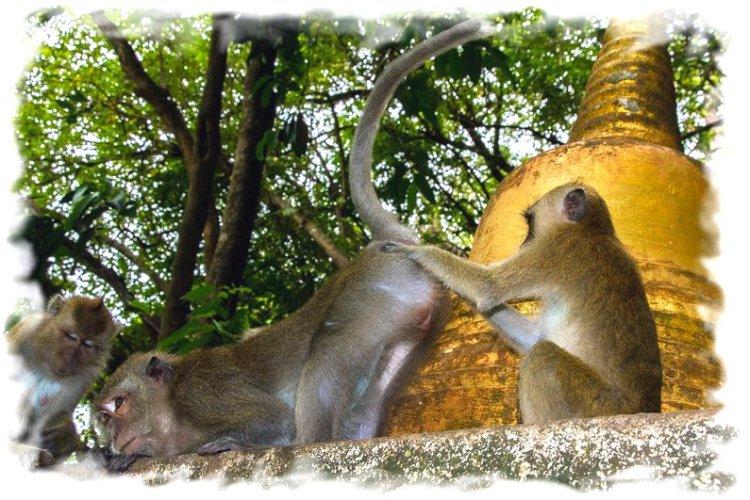 Храм Тигра Краби - обезьяны
