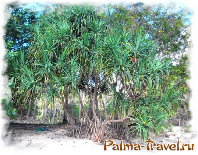 Пляж Тонсай на полуострове Рейли - лжеананасное дерево