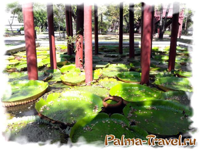 Листья знаменитого растения из Амазонии в парке Древний Сиам (Mueang  Boran)