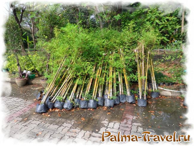 Bamboo seedlings in waiting to board in Queen Sirikit Park
